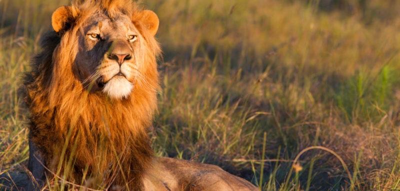 Uganda Safari Lion