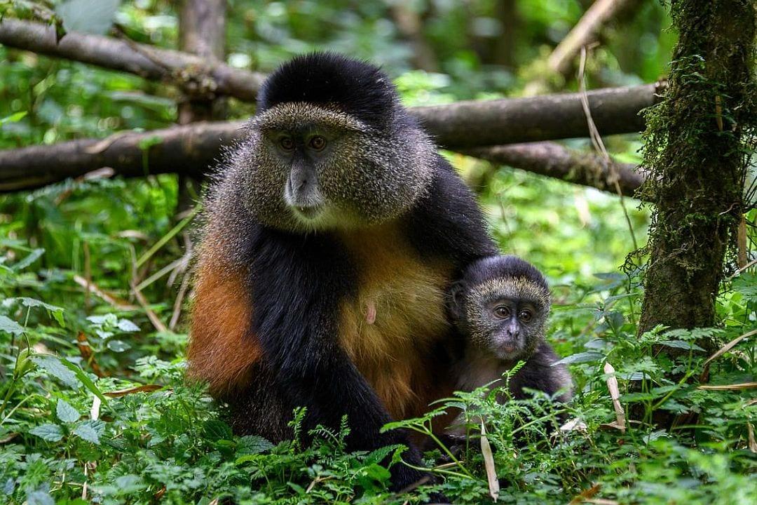 Golden Monkey Trekking in Volcanoes National Park