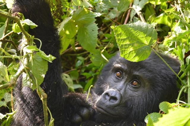 2 Days Gorilla Trekking in Uganda from Kigali