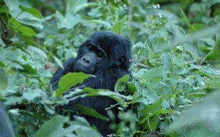 6 Days Congo Rwanda Safari