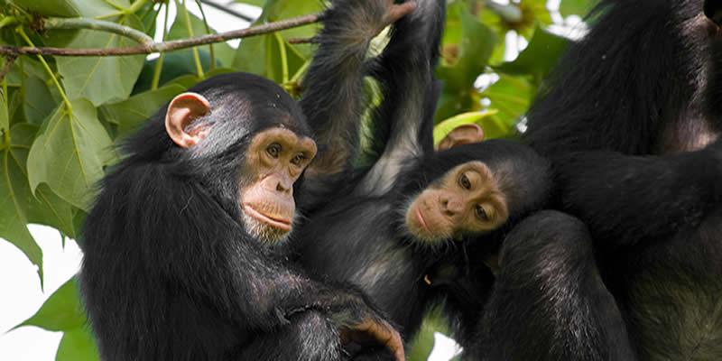 Chimpanzee Trekking in Nyungwe Forest National Park