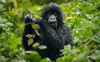 3 Days VirungaMountain Gorilla trekking safari