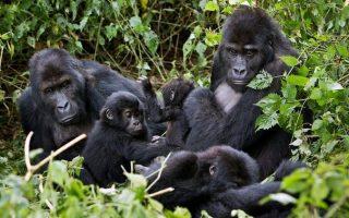 6 Days Virunga Double Gorilla Trekking & Nyiragongo Hike