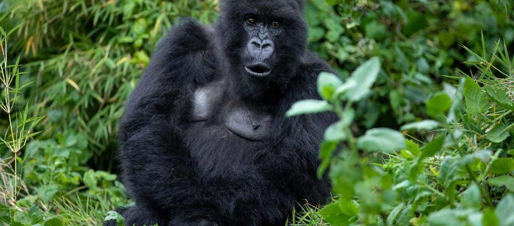 3 Days Rwanda Gorilla trekking safari